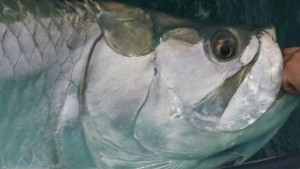 Big Tarpon Head caught in CLW, FL