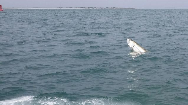St.Pete Beach Tarpon fish Guide