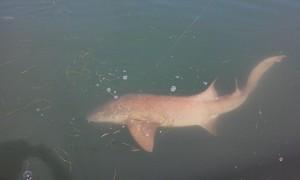 tampa shark fishing charter
