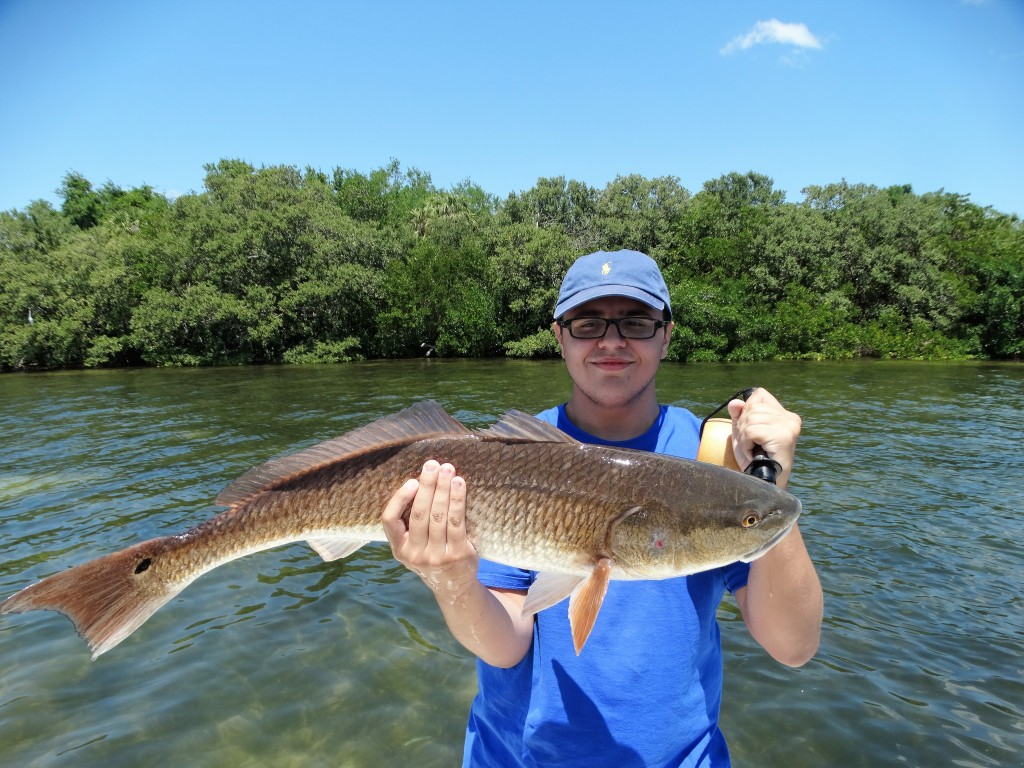 Redfish caught in St.petersburg florida with Capt.Jared on half day fishing charter trip
