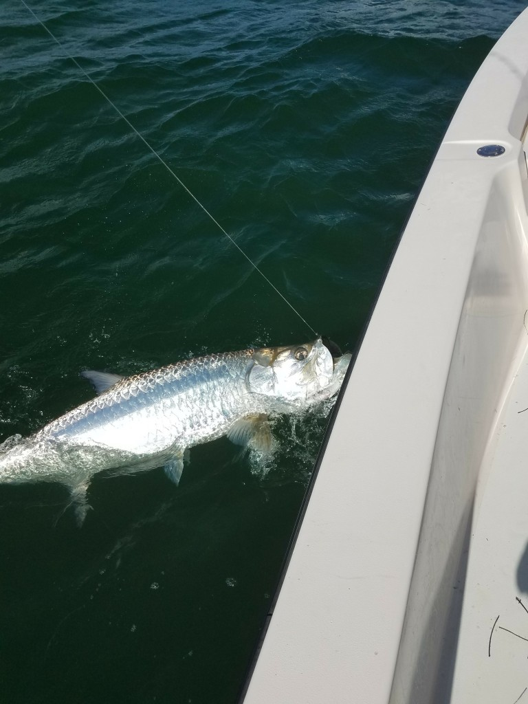 Tarpon Boat side with capt.Jared while on fishing guide charter trip in Clearwater Beach, Fl