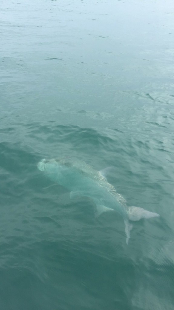 tarpon fish off clearwater st.pete beach