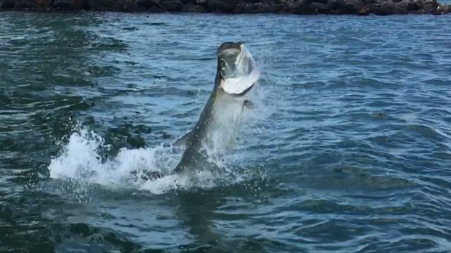 tarpon jump while fishing charter guide capt.jared