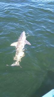 Clearwater beach shark fishing charter guide