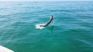 tarpon fishing charte tampa bay